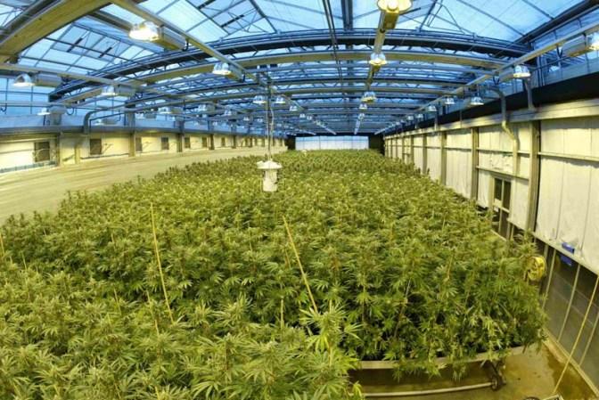 Organiczne nawozy, dodatki i odżywki do uprawy konopi