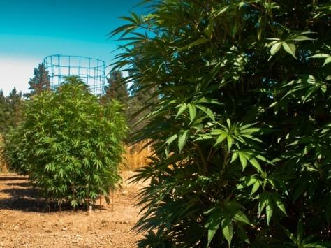 organic_weed_california
