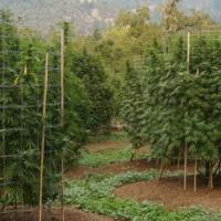 Organiczna uprawa konopi: ścinanie, suszenie i curing krok po kroku