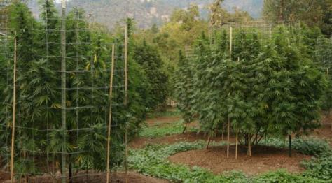 cannabis_organically_grown_outdoor