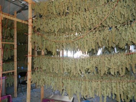 suszenie_marihuany