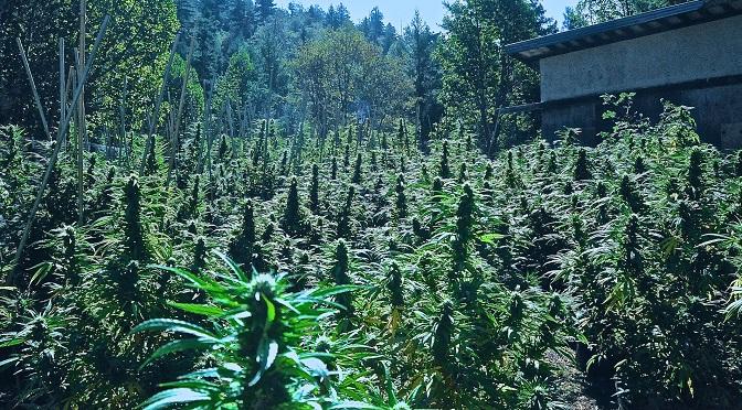 Dlaczego kalifornijscy growerzy nie chcą pełnej legalizacji?