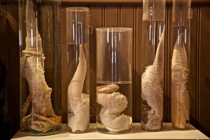 Odwiedź muzeum penisów na Islandii!