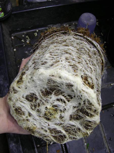 cannabis_mycorrhizae