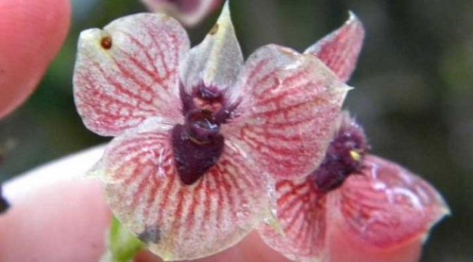 Kolumbijska orchidea o twarzy Szatana!