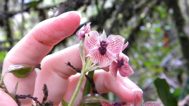 telipogon_diabolicus_orchid_2