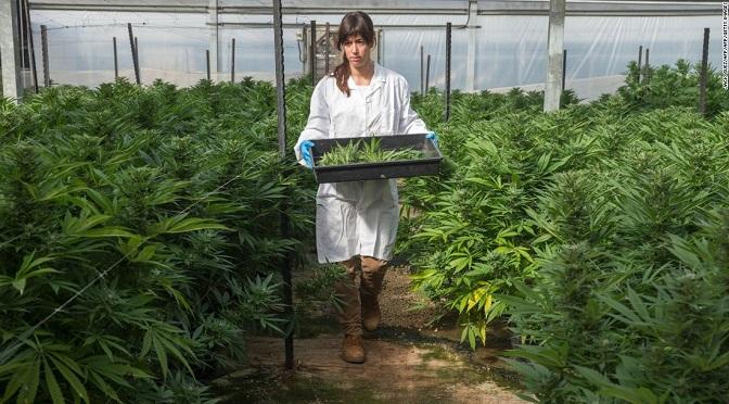 Izrael przoduje w badaniach nad medyczną marihuaną i jest gotowy na jej eksport do innych krajów!