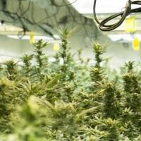 Kanadyjskie firmy zaczynają szukać pracowników w przygotowaniu na legalizację marihuany