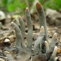Grzyby wyglądające jak łapy zombiaków i inne organy w stanie rozkładu!