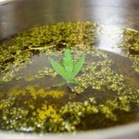 Jak zrobić marihuanową oliwę z oliwek?