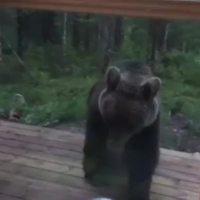 W Finlandii niedźwiedzie nie mają lekko - zobacz wideo