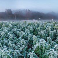 Niespodziewane opady śniegu zniszczyły uprawy konopi w Kolorado warte miliony dolarów!